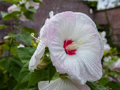 Hibiscus Rose Mallow