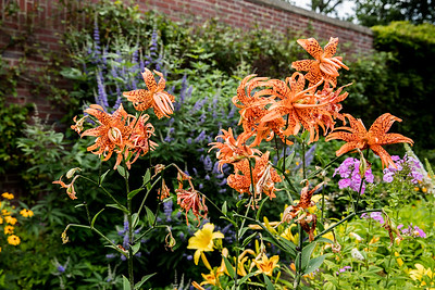 Tiger Lilies at Avis Campbell