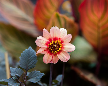 Dahlia 'Happy Single Date' (Mignon) in Avis Campbells Gardens Maintained by the Garden Club of Montclair