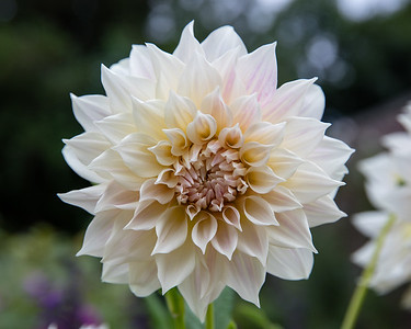 Dahlia 'Cafe au Lait'  (Dinnerplate) in Avis Campbell Gardens Maintained by the Garden Club of Montclair
