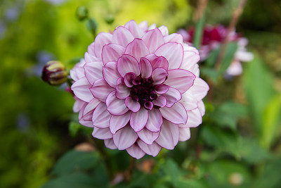 Dahlia 'Crème de Casis' () in Avis Campbell Gardens Maintained by the Garden Club of Montclair