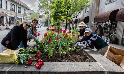 Garden Club members lift tulips and plant annuals on Church Street