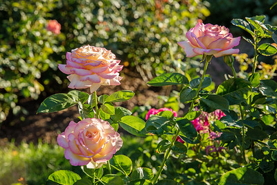 Roses at sunset in Avis Campbell Gardens