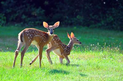 Ohio Deer 8/5/16