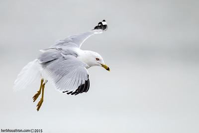 Ring Billed Gull 1