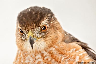 Backyard Cooper's Hawk