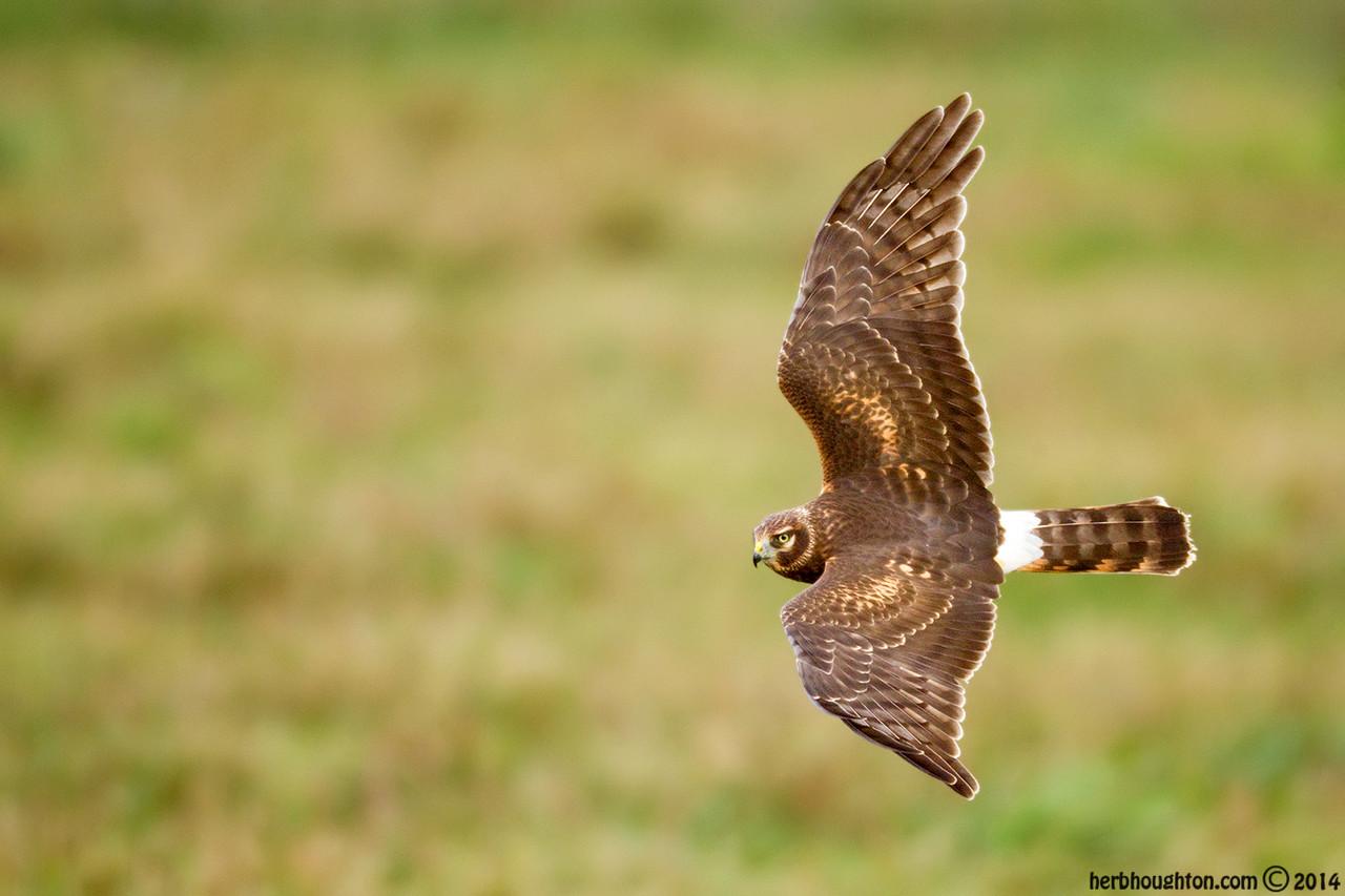 Northern Harrier female