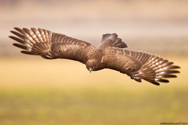 Rough Legged Hawks