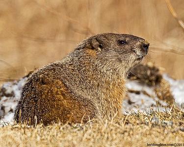 Groundhog3_030111sm