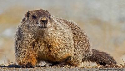 Groundhog9_030111sm