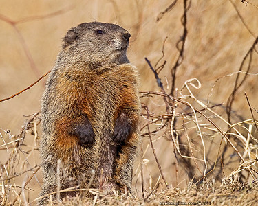 Groundhog5_030111sm