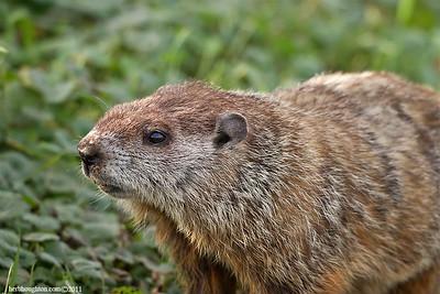 Groundhog3_120211sm