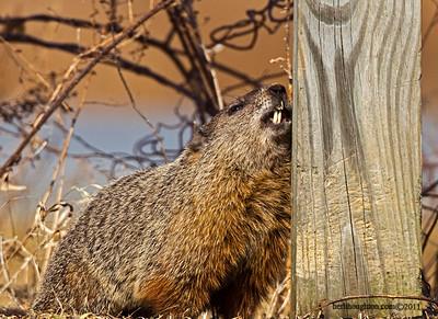 Groundhog16_030111sm