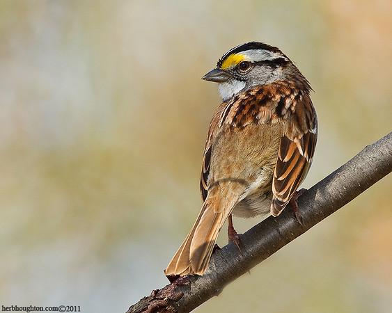 Sparrows, Buntings and Grosbeaks