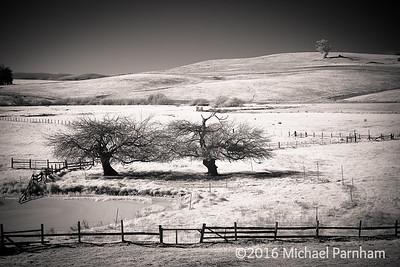 Two Sonoma Apple Trees