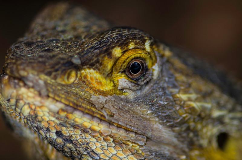 Bearded Dragon Eye
