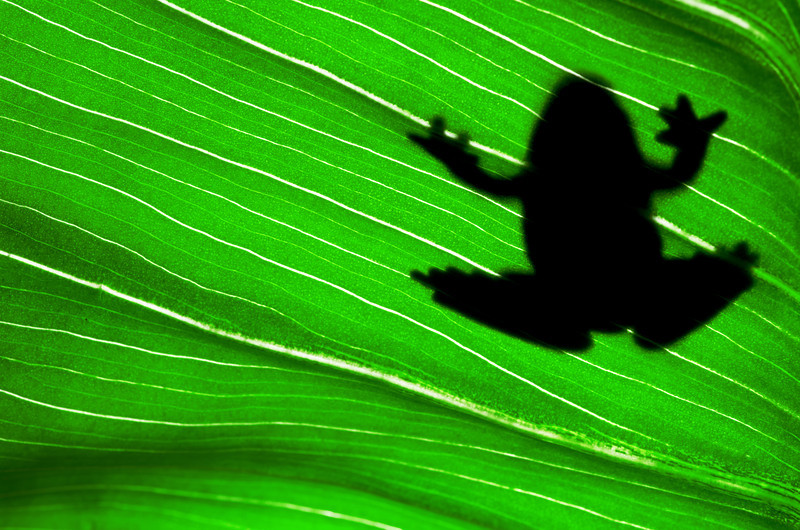 Frog Sillhouette
