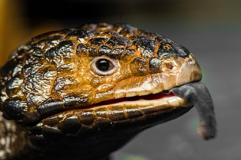 Shingle-Back Lizard Tongue