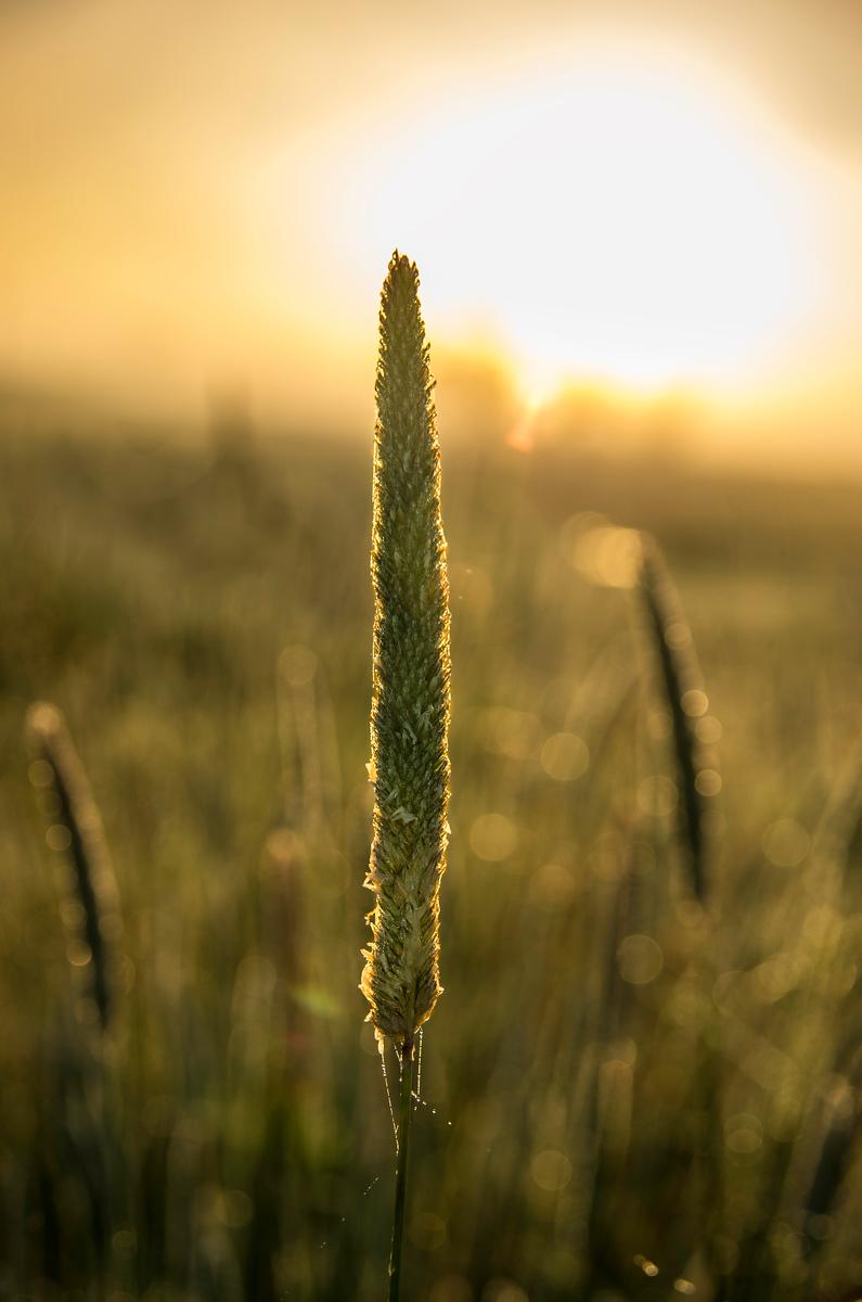 Rim-Light Grass