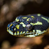 Diamond-Back Python Eye