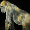 Proud Silverback - San Diego Zoo