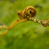 Fern Reaching Out