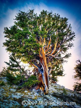 Bristlecone Pine, Eastern California