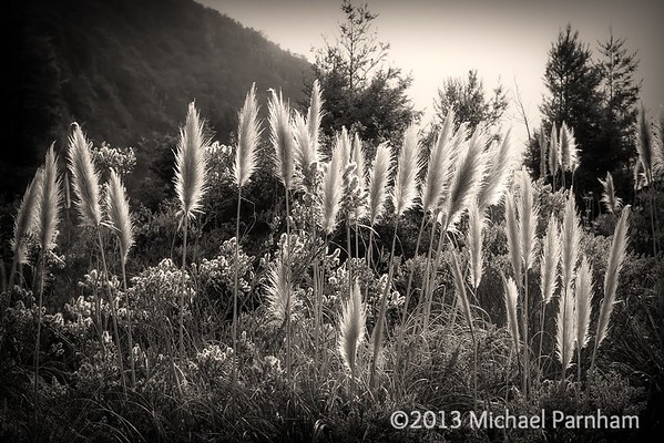 Pampas Grass, Pacific Coast, CA
