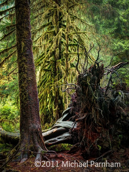 Uprooted Tree, Hoh Rainforest, WA