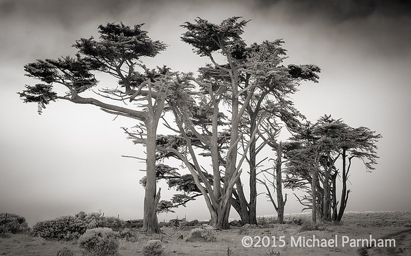 Windswept Pines at Point Reyes Station, CA