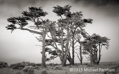 Windswept Pines at Point Reyes Station