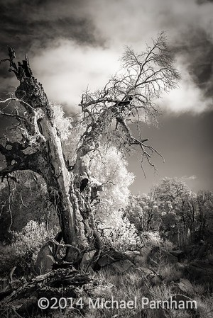 Twisted Tree, southern CA