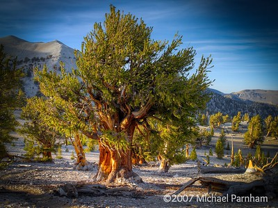Bristlecone Sunset,