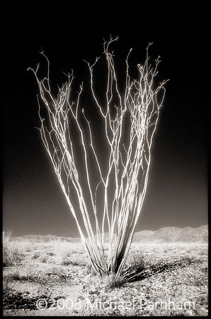 Solitary Ocotillo