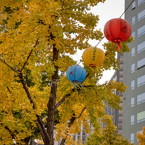 Ginkgos and Lanterns