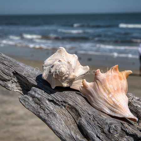 The Conchs
