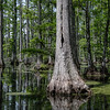 Hollow Cypress