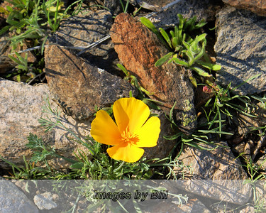 Yellow Flower Go John Trail Cave Creek, AZ  February 19, 2009