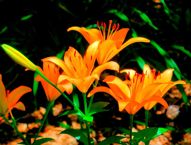 Orange Flowers Tres Sabores Vineyard Rutherford, CA June, 2012