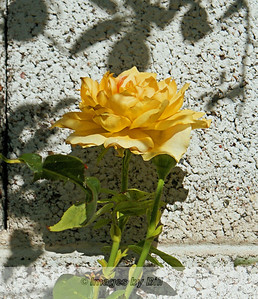 Early morning yellow rose in our backyard  June 21, 2009