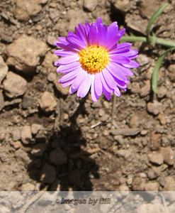 09/01/08  Purple Flower Elden Lookout Trail Flagstaff, AZ