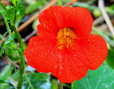 Orange Flower in Rain Golden Gate Bridge San Francisco, CA September 17, 2010