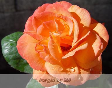 Rose  April 10, 2005