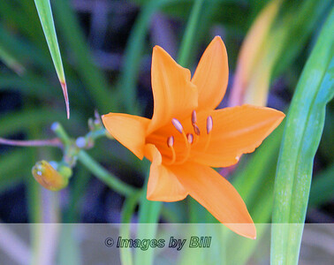 06/25/08  Orange Flower at Sunrise Harrisburg, PA