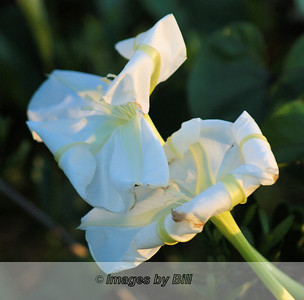 04/11/08  White Flower at Sunrise Oldsmar, FL
