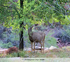 Another of the local residents. The deer have no fear of people and come within a few feet looking for something to nibble on. <br /> <br /> Grand Canyon, 2009, Day 1, 04/24/09