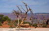 Dead Tree Scenic<br /> <br /> Grand Canyon, 2009, Day 1, 04/24/09
