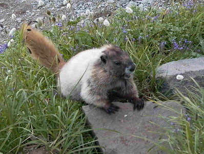 Marmot | Mount Rainier National Park