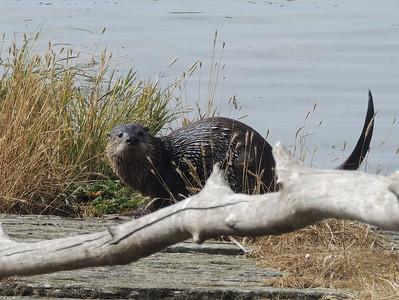 Sea Otter | La Push, WA