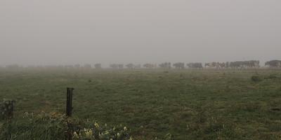 Foggy Herd   Point Reyes National Seashore